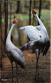 A pair of Brolgas (Grus rubicundus) Queensland's State Bird.